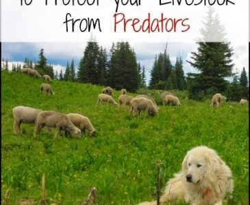Three Non Lethal Ways to Protect You Livestock From Predators l Homestead Lady (.com)