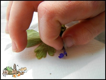 Foraging With Kids l Botanical Prints l Place each blossom on the paper carefully l Homestead Lady (.com)