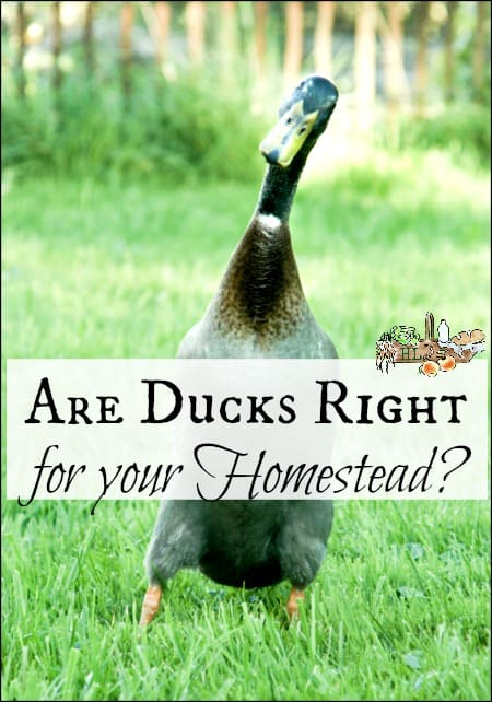 Are Ducks Right For Your Homestead l The ins and out and pros of ducks l Homestead Lady.com