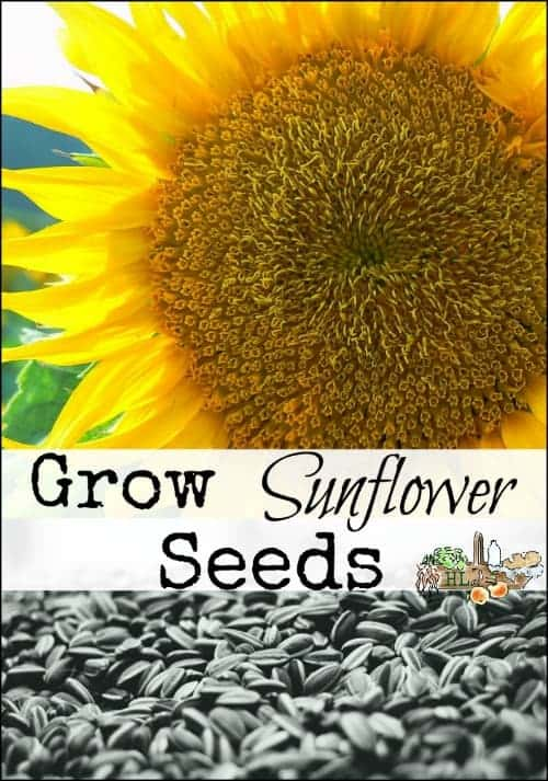Grow Your Own Sunflowers with Russian Mammoth Sunflowers l Sunflower Seeds are great snacks for kids and wild birds l Homestead