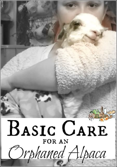 Basic Orphaned Alpaca Care l Tips for rescuing an orphaned cria l Homestead Lady.com