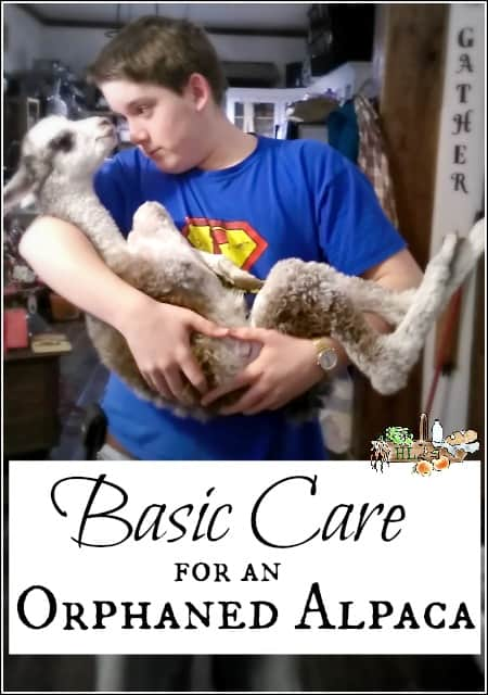 Orphaned Alpaca Rescue Care l Basic tips for caring for an orphaned cria l Homestead Lady.com