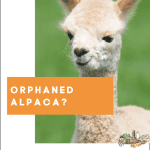 Basic Care for an Orphaned Alpaca
