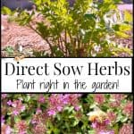 Direct Sow Herbs