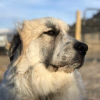 Livestock Guardian Dog | Training a Pup