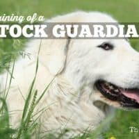 The Training of a Livestock Guardian Dog